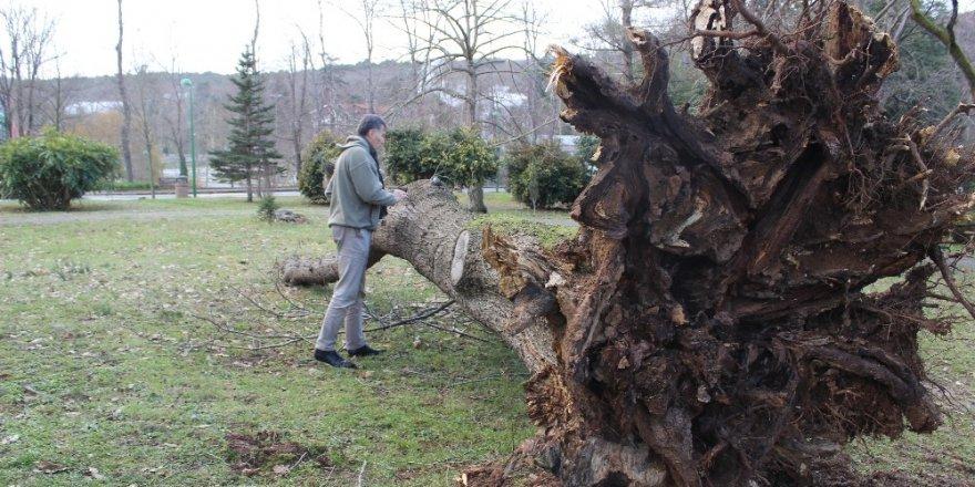 Ağaç Yıkılmalarına Röntgen Ve Tomografi İle Önlem