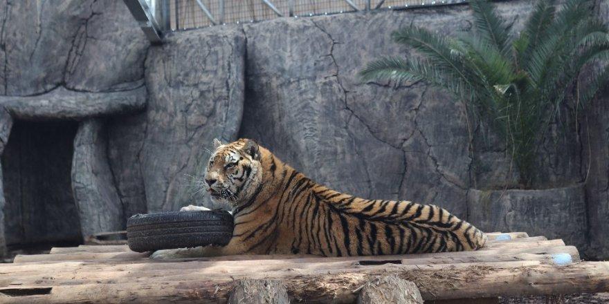Türkiye büyük kedilerine isim arayacak